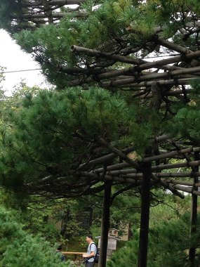 PHOTO: The ancient pine at Kinkaku-Ji with branch supports.