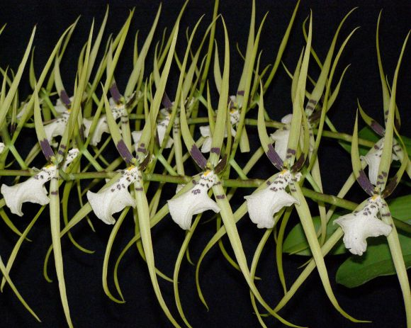 PHOTO: A spray of blooming orchids, which resemble tropical spiders.