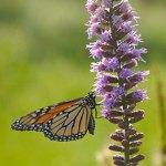 Butterfly on Liatris