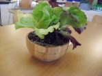 PHOTO: two kinds of lettuce are growing in a wooden salad bowl.