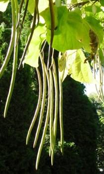 PHOTO: Long seedpods hang between heart-shaped leaves