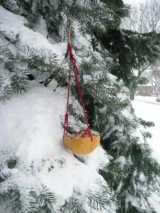 PHOTO: Grapefruit birdfeeder hung from a snow-covered fir.