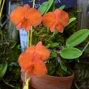 Cattleya-dichroma-(formerly-Sophronitis-bicolor)