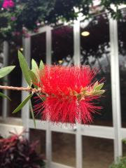 Crimson bottlebrush (Calistemon citrinus)