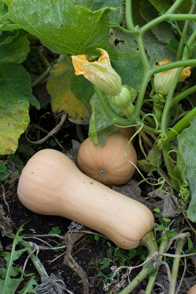 PHOTO: Waltham butternut squash.