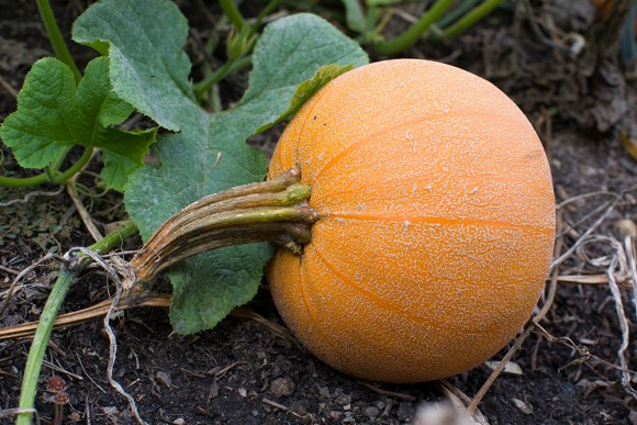 PHOTO: Winter Luxury pumpkin.