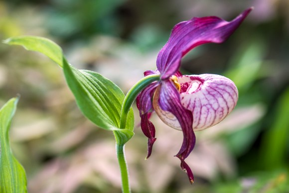 PHOTO: Cypripedium Gisela gx Lady's Slipper orchid.