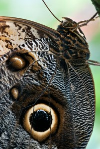 PHOTO: Detail of Owl Butterfly