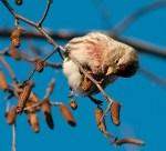 A cute finch that visits the Garden in winter. ©Carol Freeman