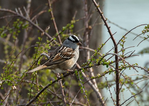 PHOTO: White-crowned sparrow.
