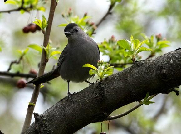 PHOTO: Gray catbird.