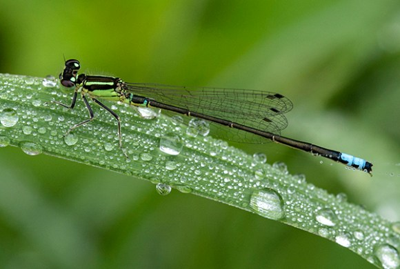 PHOTO: Male Eastern Forktail damselfly.
