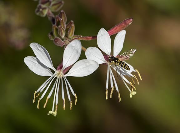 Gaura flowers still attract hover flies. ©Carol Freeman