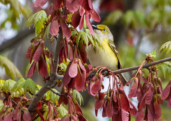 PHOTO: White-eyed vireo.