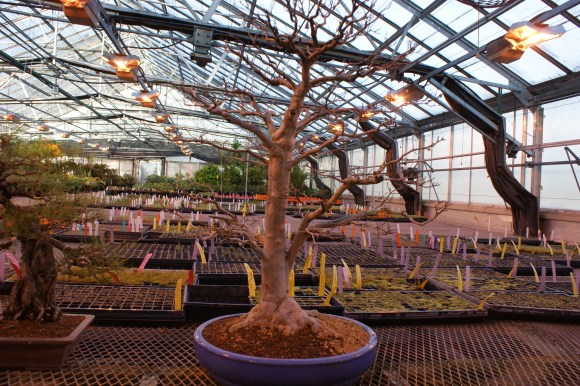 "PHOTO: Bonsai ""benched"" in the greenhouse until spring."