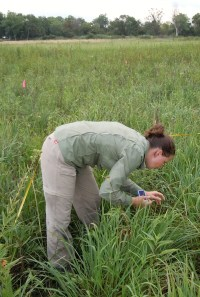 PHOTO: Ksiazek examines plants in a prairie, taking data.