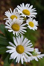 Daisy (Leucanthemum x superbum ('Darling Daisy')