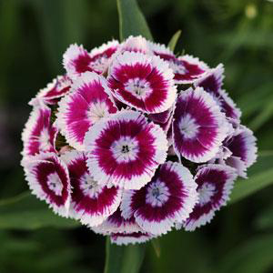 Dianthus barbatus 'Sweet Purple' by Panam Seed