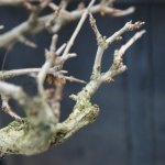 PHOTO: Dormant bonsai.