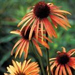 PHOTO: Art's Pride echinacea, an orange coneflower cultivar.