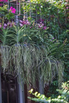 PHOTO: Epiphytic orchids.