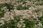 PHOTO: Eupatorium perfoliatum 'Milk and Cookies'