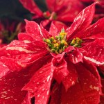 PHOTO: Red Glitter poinsettia (Euphorbia pulcherrima 'Red Glitter').