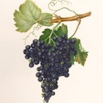 ILLUSTRATION: Color lithograph of grapes.