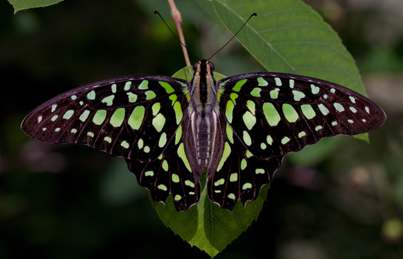 PHOTO: Graphium agamemnon (Tailed jay) butterfly by Anne Belmont.