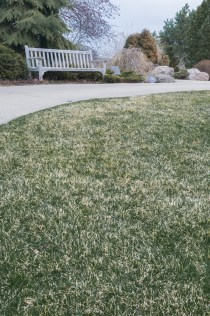 PHOTO: Grass showing winter damage.