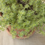 PHOTO: A pot of lemon thyme.