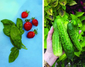 PHOTO: Summer harvest: greens, strawberries, and pickles.