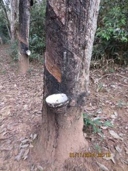 PHOTO: The bark is stripped from a rubber tree. The sap is gathered and turned into rubber.