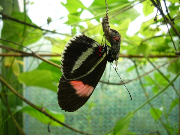 A Heliconius erato male is attracted by pheromones of a female pupa. He waits until she starts to emerge to attempt mating. Photo ©Holger Klee via Flickr.