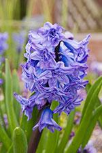 Hyacinth (Hyacinthus orientalis)