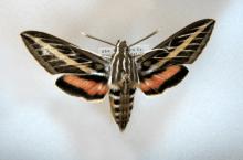 PHOTO: Pinned specimen of Hyles lineata.