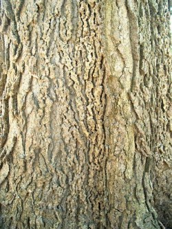 PHOTO: The bark on the north side is also bumpy and scraggly, but the texture is more like a bike chain.
