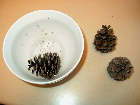 PHOTO: One pine cone is floating in a white bowl full of water while the other two are resting on the right side of the bowl.