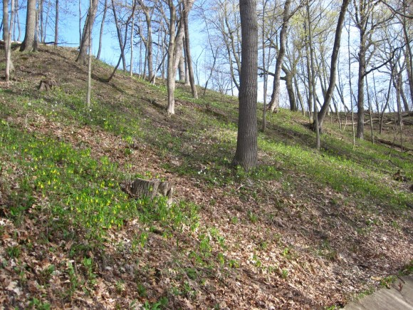 Early spring ephemerals in bloom on a ravine bluff.