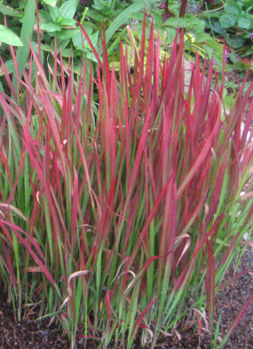 Imperata cylindrica 'Rubra', or Japanese blood grass.