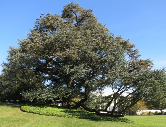 PHOTO: Jimmy Carter's Cedar of Lebanon, planted in 1978.