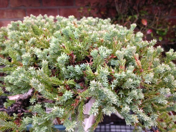 PHOTO: Juniper bonsai.