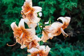 PHOTO: Asiatic lilies just beginning to open.