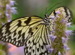 Rice Paper Butterfly, ©Carol Freeman