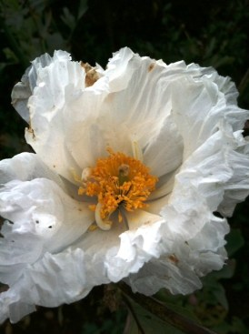 PHOTO: Matilija poppy.
