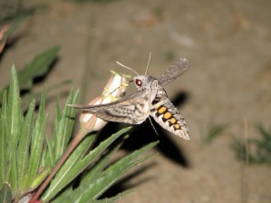 A five-spotted hawkmoth visits Harrington's evening primrose near Pueblo, Colorado.