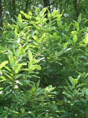 PHOTO: Magnolia virginiana var. virginiana L. in Michaux State Forest, Pennsylvania.