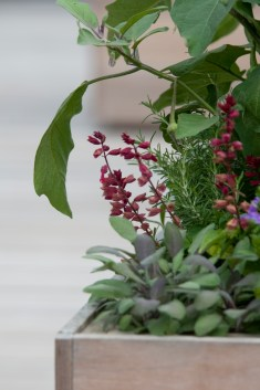 PHOTO: A container box planting of rosemary, sage, eggplant, and smaller blooms.