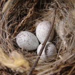 PHOTO: Eggs in a nest.