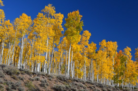 "The Pando, or ""Trembling Giant,"" is a colony of clonal quaking aspens roughly 80,000 years old, in Fish Lake, Utah."